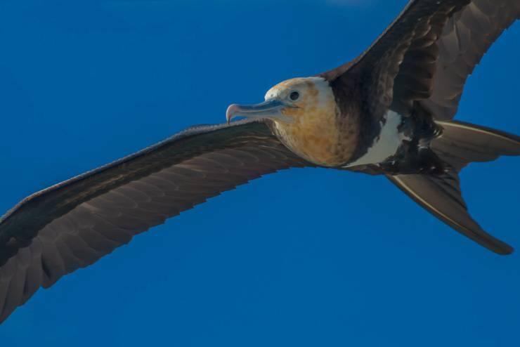 fregata maggiore galapagos