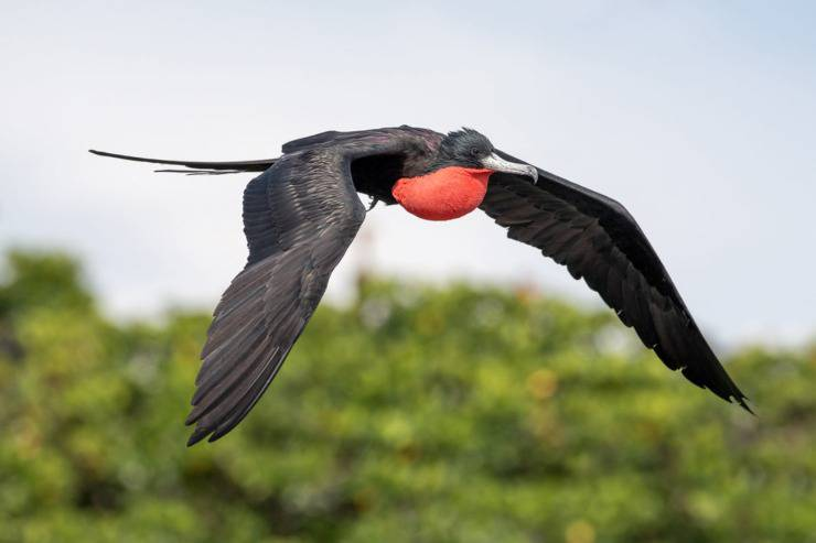 fregata magnifica galapagos