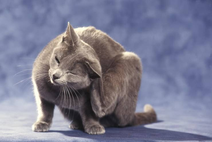 malattie pulci gatto