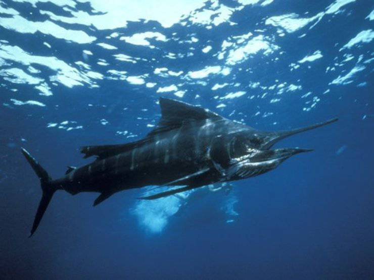 marlin nero animali marini più veloci