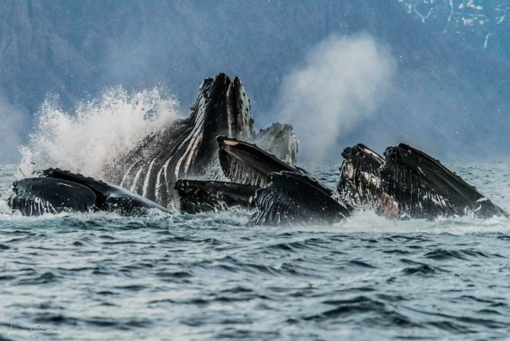megattere cetacei balene