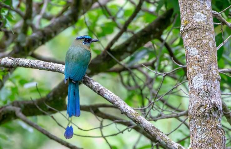 motmot uccelli con la coda più bella