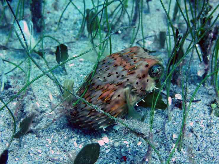 Pesce palla nella vasca con altri pesci