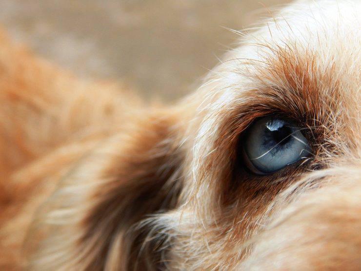 occhio blu del cane