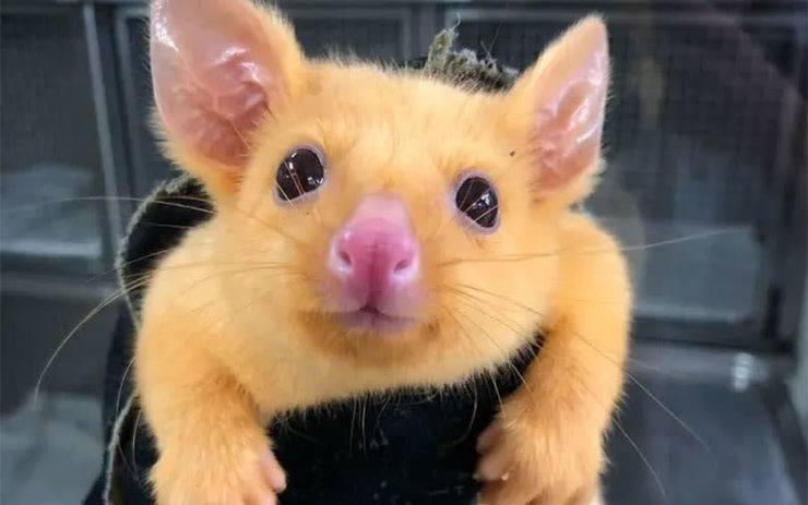 l'opossum che sembra un pokemon
