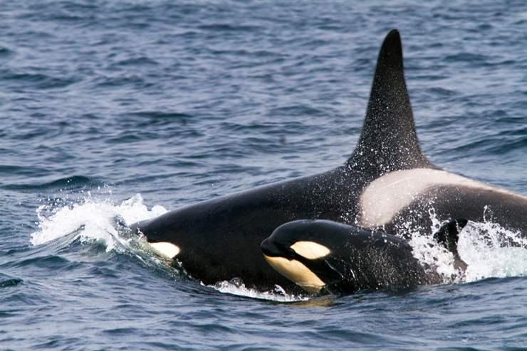 orca assassina flickr