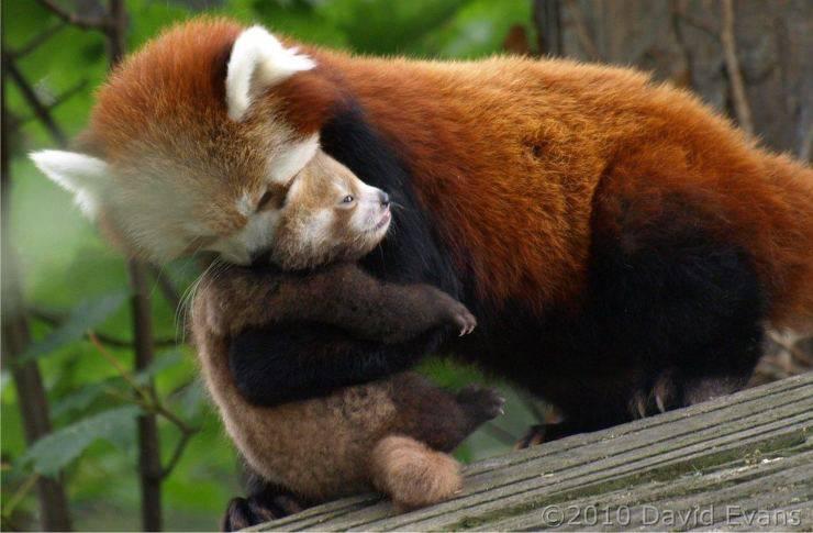 panda rosso flickr