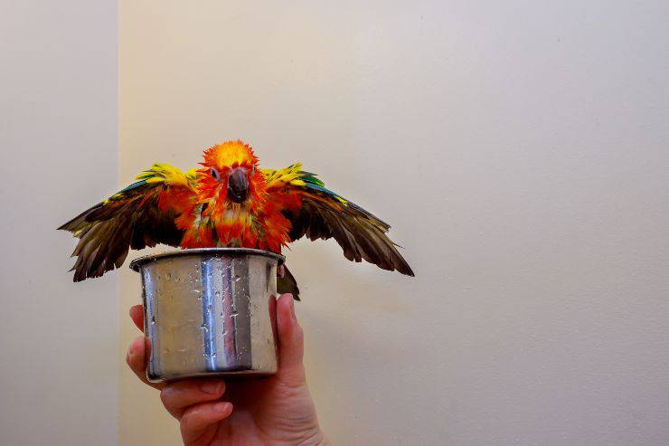 pappagallo bagnato