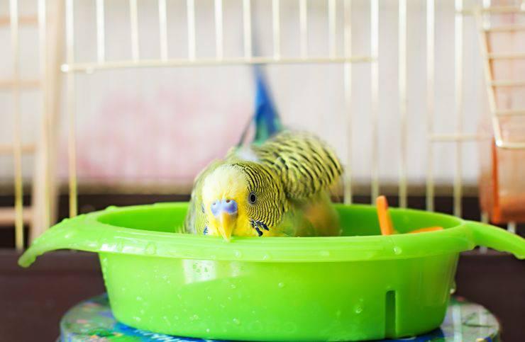 come lavare il pappagallo