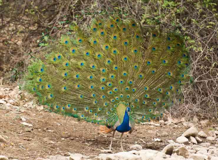 pavone uccelli con la coda più bella