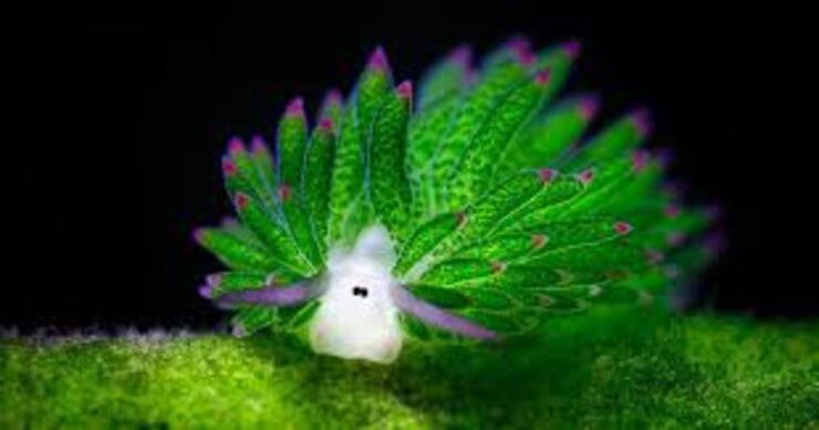 pecora dalle foglie o pecora marina