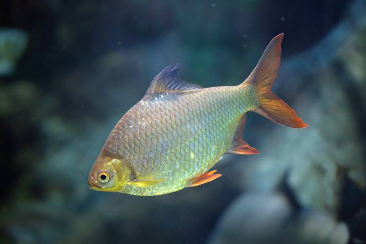 Pesce Cyprinodon