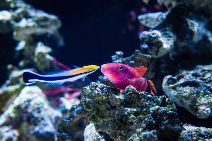pesce dottore