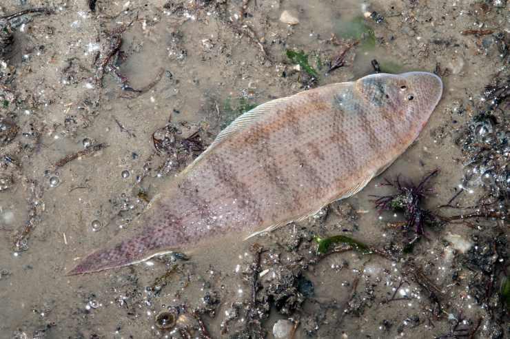 pesce lingua pesci dalle abilità più assurde