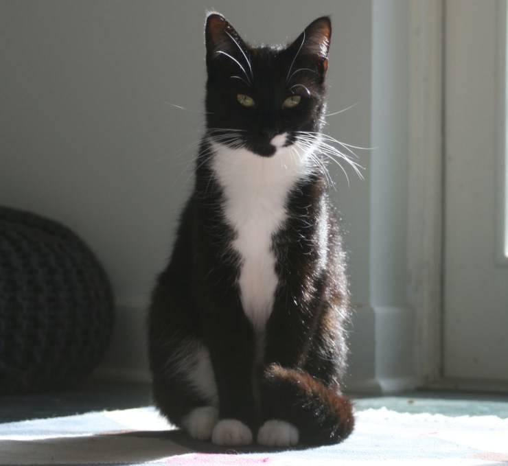 gatto bicolore tuxedo