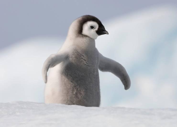 pinguino flickr