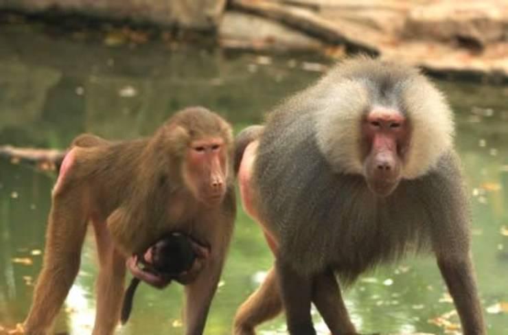 Storie di babbuini stupefacenti: queste scimmie sono davvero pazzesche
