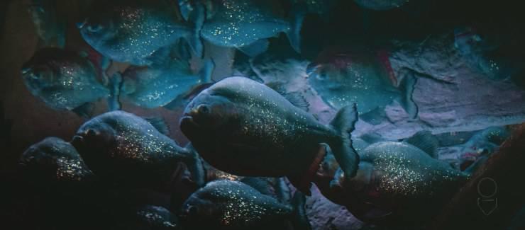 Piranha come pesce domestico