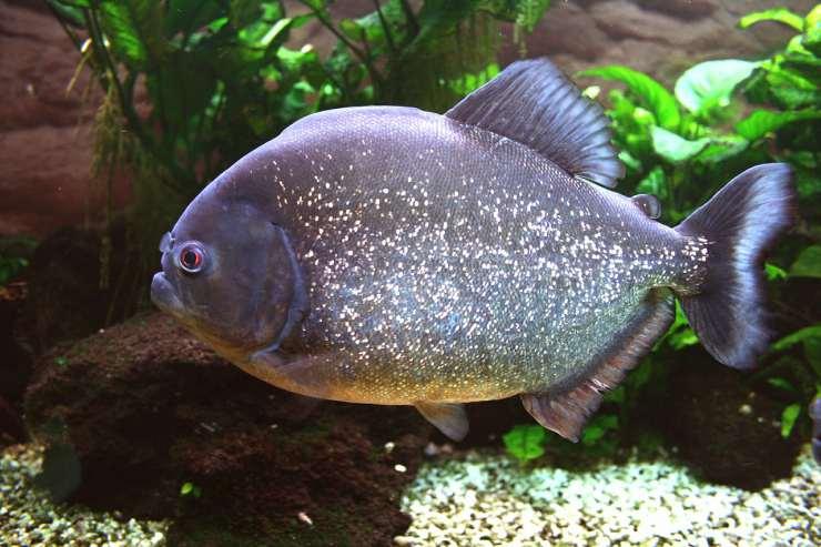 Piranha rosso