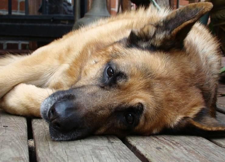 Leia, il cane che ama più di ogni altra cosa il suo proprietario