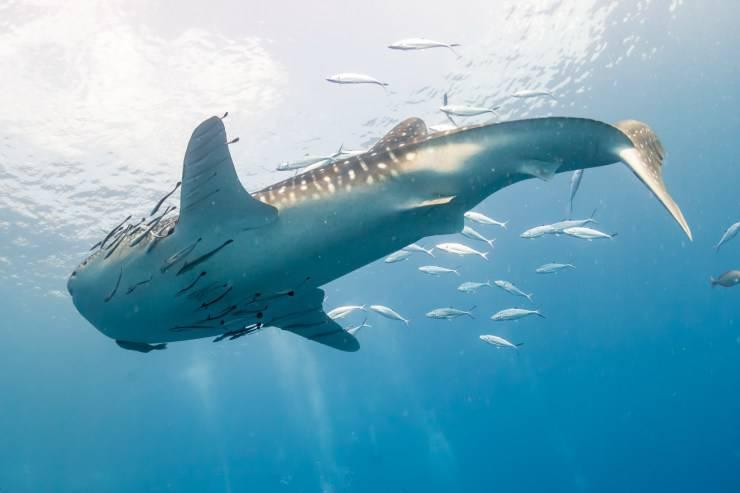 remora e squalo