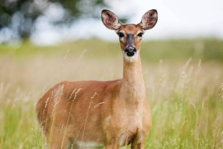 Il cervo incuriosito (Foto Pixabay)