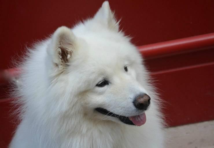 Cani anallergici: Samoiedo