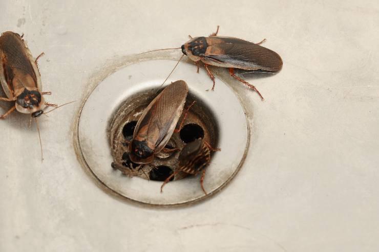 scarafaggi dallo scarico tratti umani negli insetti