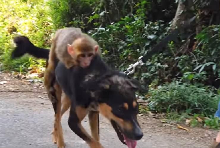 scimmia cane
