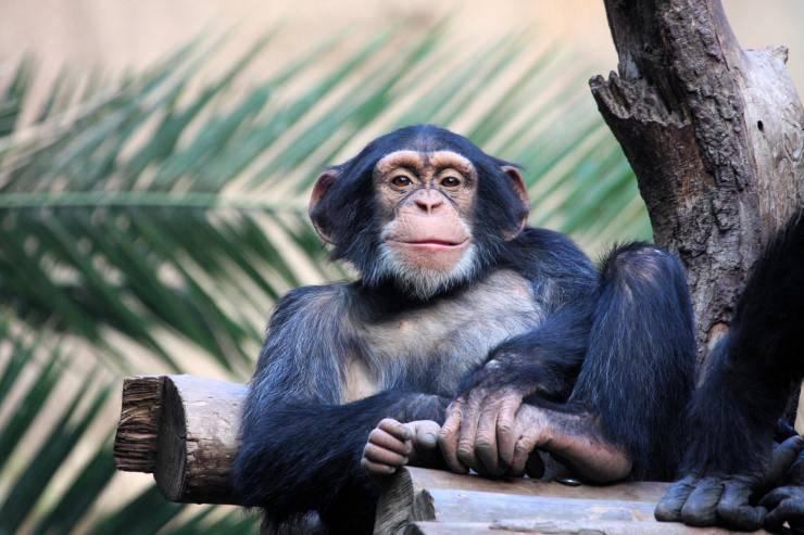 scimpanzé abilità nascoste di animali