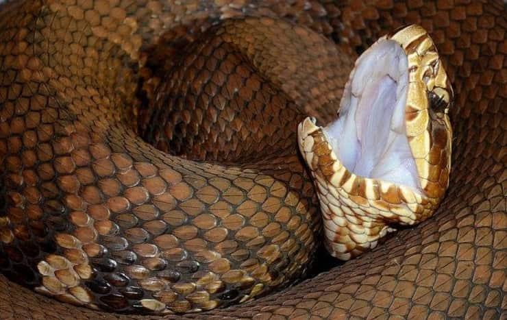 Serpente mocassino acquatico