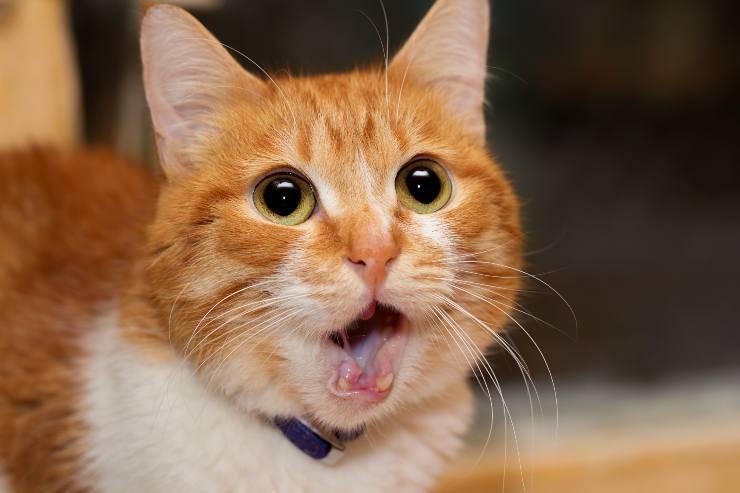 sintomi di shock nel gatto
