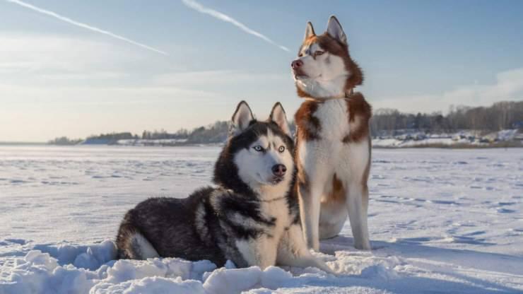 siberian husky cane pro contro