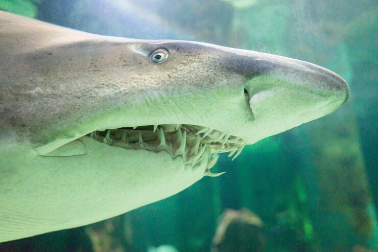squalo toro animali cannibali