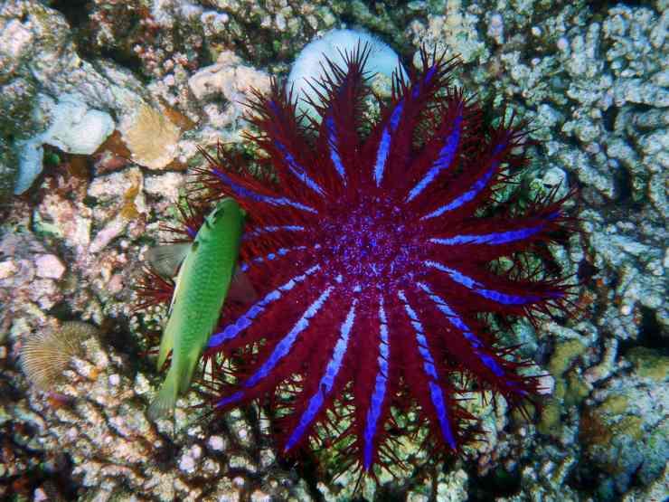 stella marina corona di spine