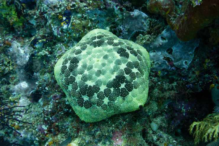 stella marina cuscino