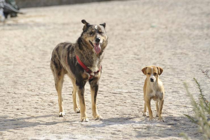 Coronavirus donna cani