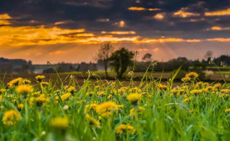 Piante di tarassaco (Foto Pixabay)