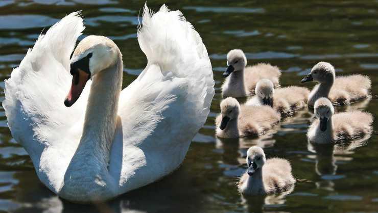Mamma cigno e i suoi figli (Foto Pixabay)
