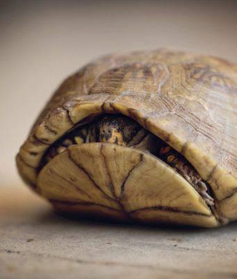 tartaruga scatola