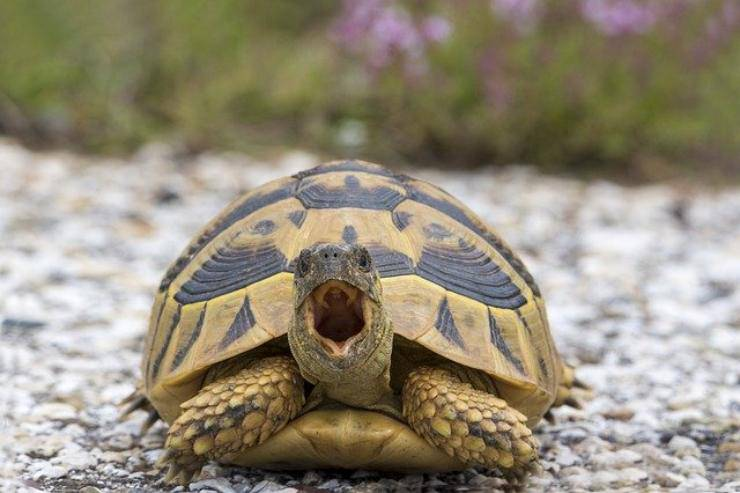 tartarughe sibilano