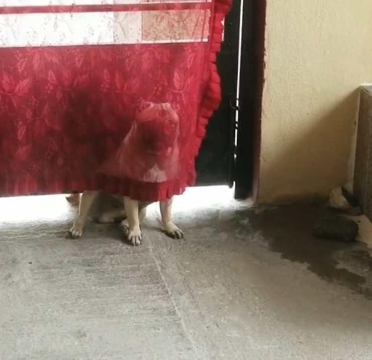 cane nasconde tenda