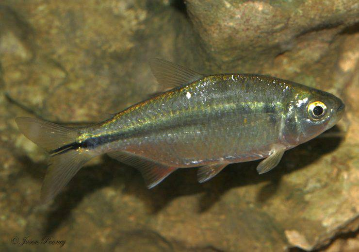 pesce tetra messicano flickr