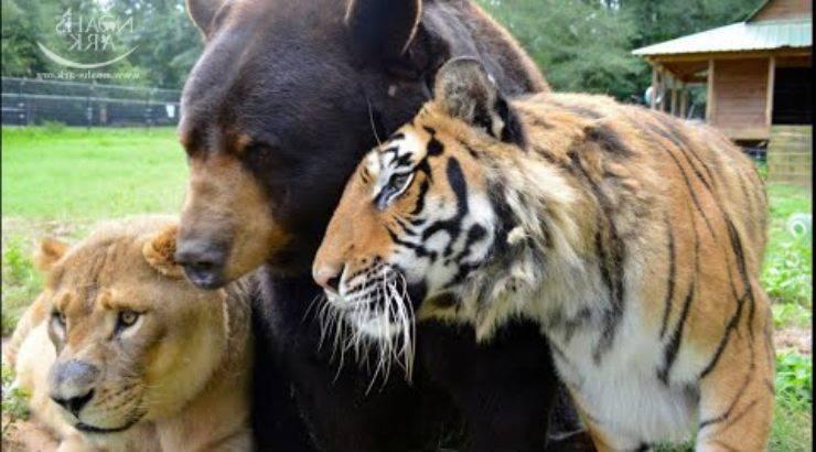 tigre orso leone youtube