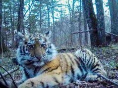 cucciolo tigre orfano