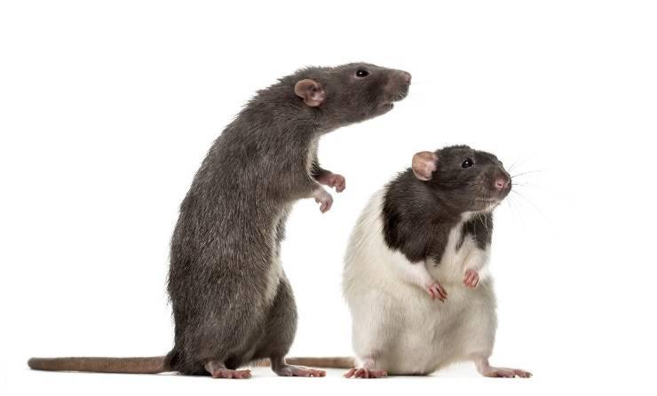 differenze tra topi e ratti