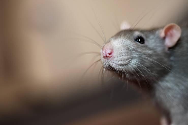 I sensi del topo domestico