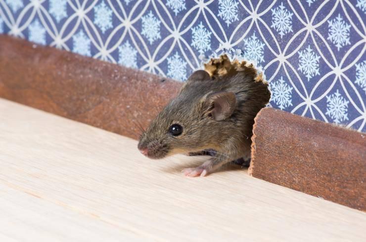 topi domestici sono rumorosi