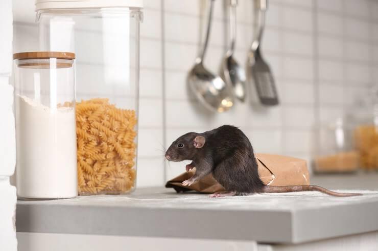 il topolino può mangiare cibo per gatti
