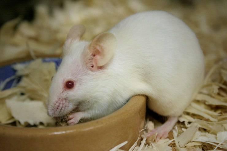 Il topo domestico diventa geloso